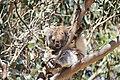 Koala at Kangaroo Island.jpg