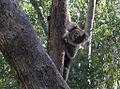 Koala koala.jpg