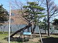 Konan Shrine - Red Pine of Nostalgia.JPG