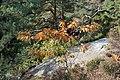 Korina 2015-10-10 Quercus rubra 1.jpg