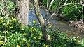 Korina 2016-04-21 Mahonia aquifolium 4.jpg