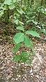 Korina 2018-09-01 Quercus rubra 2.jpg