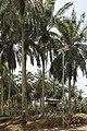 Kunak Sabah Mostyn-Oil-Palm-Museum-06.jpg