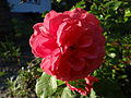 Kwiat róży (03).jpg