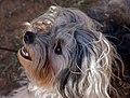 Löwchen dog (Basil Smile).jpg