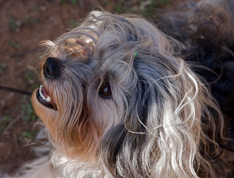 El Lowchen es un excelente perro hogareño debido a su carácter dócil y obediente