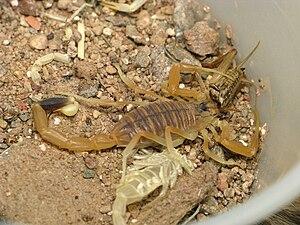 Deathstalker - A deathstalker eating a cricket in captivity