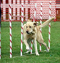 A Labrador participating in dog agility