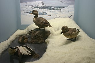 Labrador duck - Stuffed specimens, AMNH