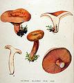 Lactarius deliciosus — Flora Batava — Volume v19.jpg
