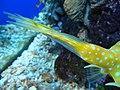 Lactoria cornuta (cola).005 - Aquarium Finisterrae.JPG