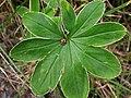 Ladybird on a leaf - geograph.org.uk - 949673.jpg