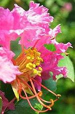 "Còn quậy chưa ""về"" - Page 8 150px-Lagerstroemia_indica-flower-closeup"