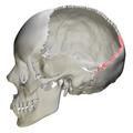 Lambdoid border of occipital bone01.png