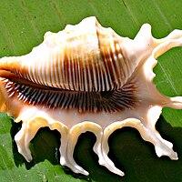 Lambis scorpius scorpius shell