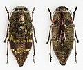 Lampetis hirtomaculata (40278230512).jpg