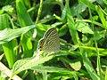 Lampides boeticus - Pea Blue at Aralam Wildlife sanctuary during Aralam butterfly survey 2020 (8).jpg