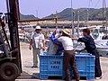 Landing bluefin tuna, Mishima Island.jpg