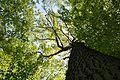 Landschaftsschutzgebiet Gütersloh - Isselhorst - Wald an der Lutter - Blick nach oben (3).jpg