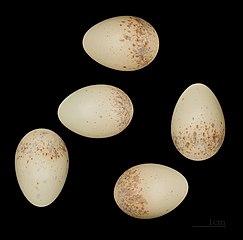 Strakoš červenochrbtý (syn. s. obyčajný) (Lanius collurio) - vajíčka