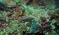 Large Toothed Cardinalfish (Cheilodipterus macrodon) (6083205370).jpg