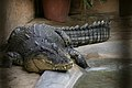 Large crocodile in park.jpg