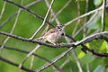 Lark Sparrow (Chondestes grammacus) (14372411452).jpg