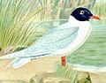 Larus melanocephalus01.jpg