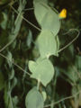 Lathyrus aphaca eF.jpg