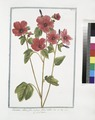 Lavatera, altææ folio, et facie flore rubro - Lavaterre. (Tree Mallow) (NYPL b14444147-1124977).tiff