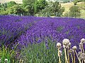 Lavender - geograph.org.uk - 494962.jpg