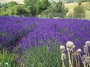 Herb farm - Image: Lavender geograph.org.uk 494962