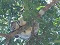 Lazy koalas - panoramio.jpg