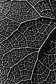 Leaf pattern - b&w (4731198404).jpg