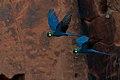 Lear's Macaw Anodorhynchus leari.jpg