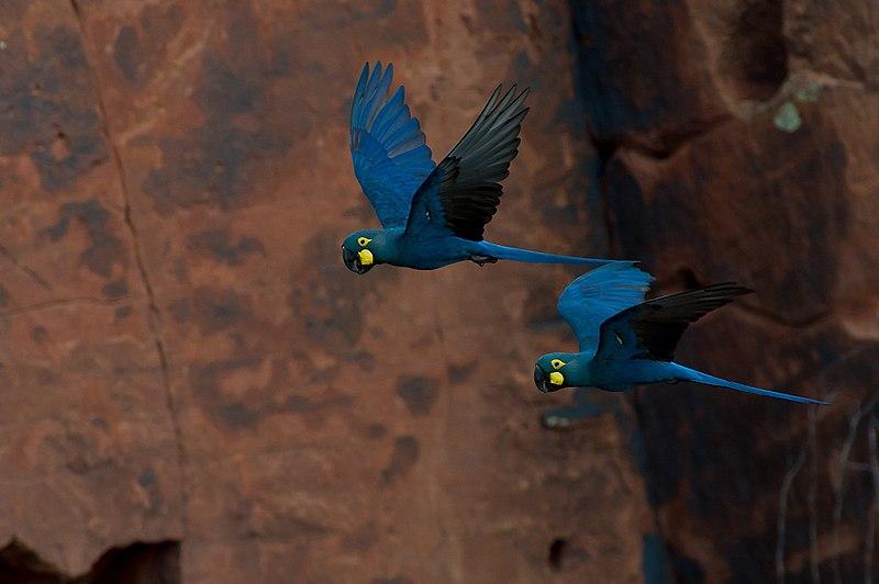 File:Lear's Macaw Anodorhynchus leari.jpg