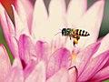 Lebah madu apis cerana.jpg