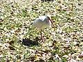 Leesburg FL Venetian Gardens birds08.jpg