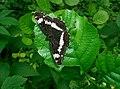 Leminitis camilla bockmerholz2004.jpg