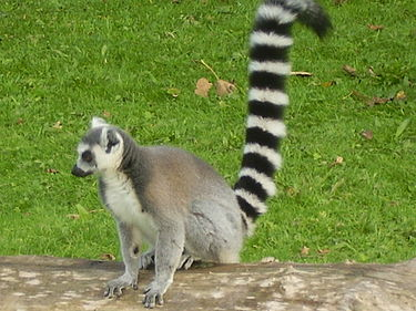 "Ring-tailed lemurs hold their distinctive tails high in the air during territorial scent marking. They also engage in ""stink fights"" with intruding males. Lemur-ring-tailed.JPG"