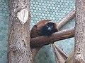 Lemur-variegatus-ruber.jpg