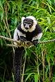 Lemur (36014783614).jpg
