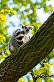 Lemur (36196188410).jpg