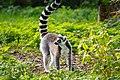 Lemur (36499870233).jpg