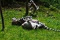 Lemur (36568327206).jpg