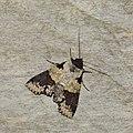 Lepidoptera (33603039191).jpg