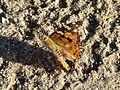 Lepidoptera CBTha001.JPG