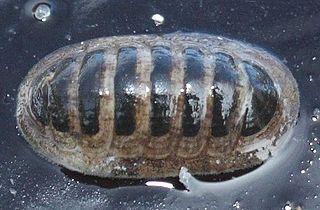 <i>Leptochiton</i> (chiton) Genus of molluscs