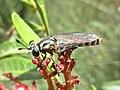 Leptomydas spec. (Mydidae) - (imago), Narbolia (comuni), Italy - 2.jpg