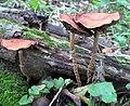 Leratiomyces squamosus var. thraustus (Kalchbr.) Bridge & Spooner 801128.jpg